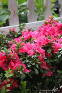 bloom_a_thon_hot_pink_azalea_reblooming