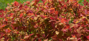 double_play_big_bang_spirea-courtesy-Proven-Winners-resized