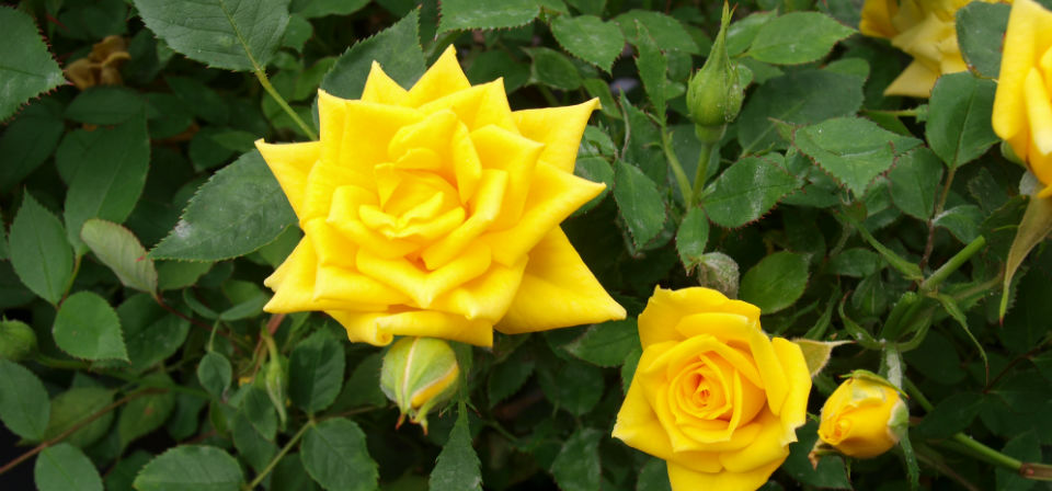 Mini Yellow Roses Yellow Sunblaze Rose