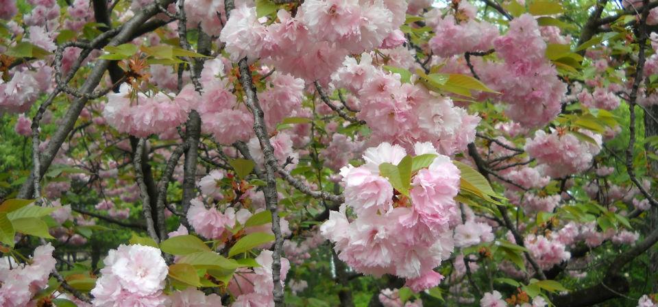 Pink-buds