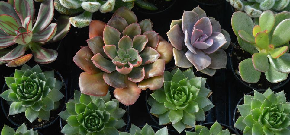 Fairy-Garden-plants-3