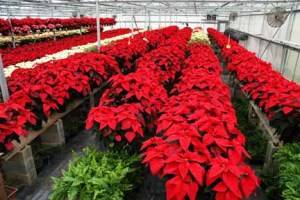 poinsettas-in-greenhouse