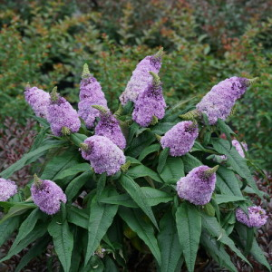 pugster_amethyst_butterfly_bush_plant