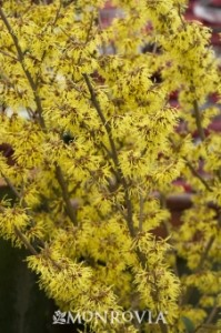 Witch Hazel 'Arnolds Promise